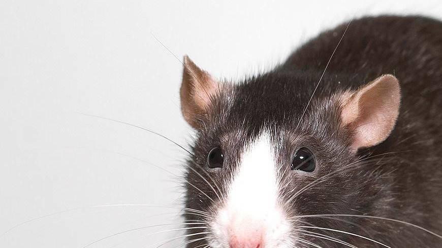 Интересные факты о мышах
