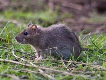 Как сделать ультразвуковой отпугиватель мышей, крыс и других грызунов своими руками