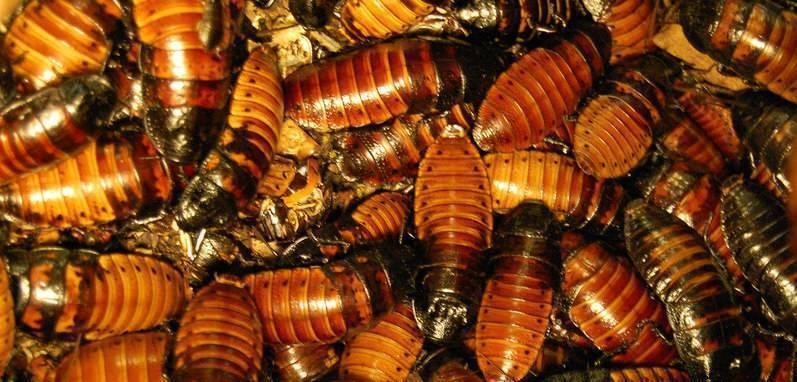 Особенности развития и борьбы с рыжими тараканами