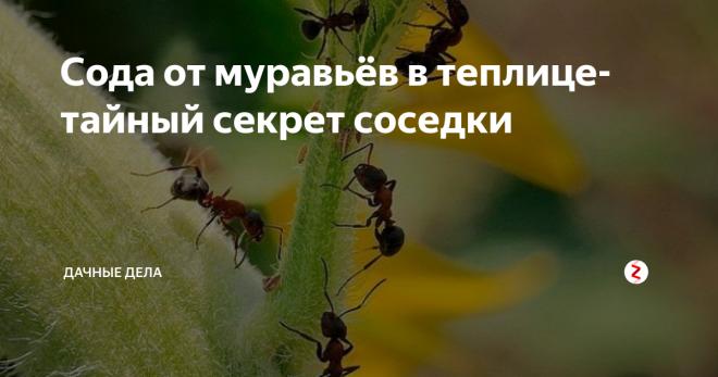 Тайный секрет применения соды от муравьев на огороде и в теплице