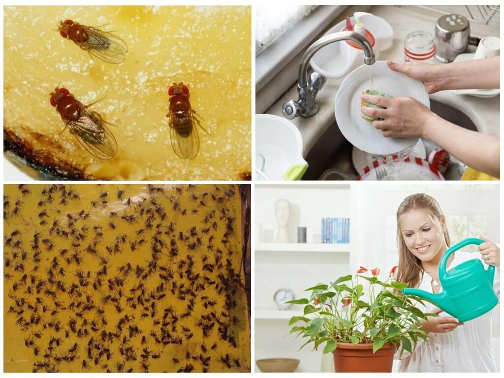 Как избавиться от дрозофил в квартире быстро и просто