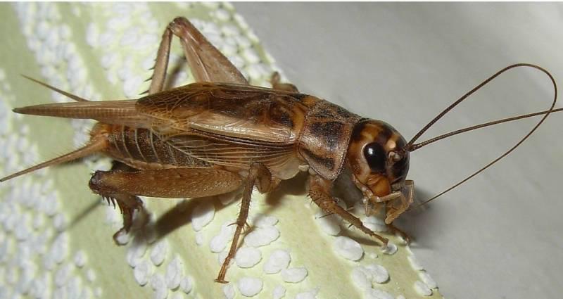 Почему стрекочут кузнечики и сверчки. мелодичный звук сверчка, или музыкальные способности насекомого