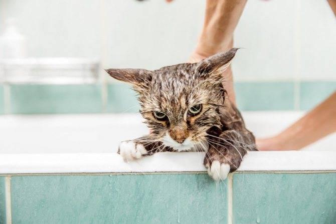 Блошки у кошки? обзор лучших зоошампуней, а также народных средств и дегтярного мыла