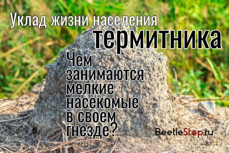 Кто такие термиты