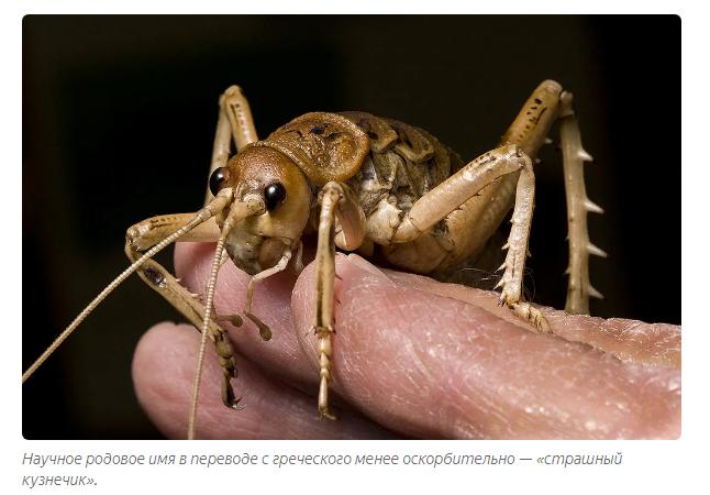 Оруссус паразитический— природный враг ксилофагов