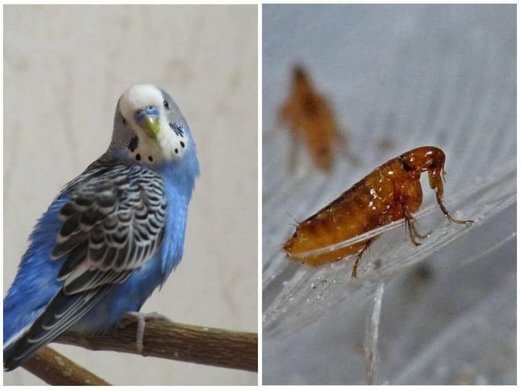 Как выглядят птичьи блохи у волнистых попугаев и голубей