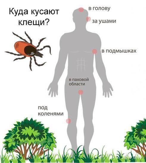 Где живут клещи и в каких местах обитают энцефалитные клещи?