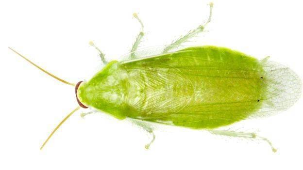 Существуют ли летающие тараканы в домах и как с ними бороться