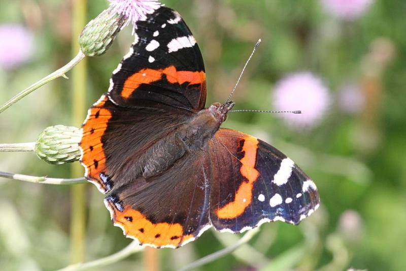 Бабочка адмирал: фото и интересные факты