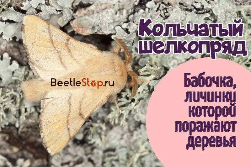 Кольчатый шелкопряд: борьба с садовым вредителем за урожай