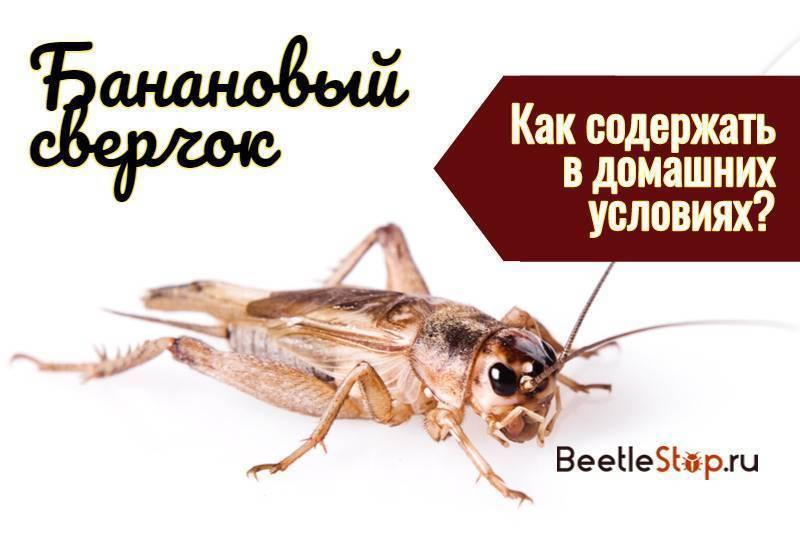 Банановый сверчок – советы по разведению экзотических насекомых