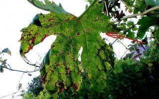 Филлоксера на винограде: меры борьбы с тлей, устойчивые сорта и профилактика