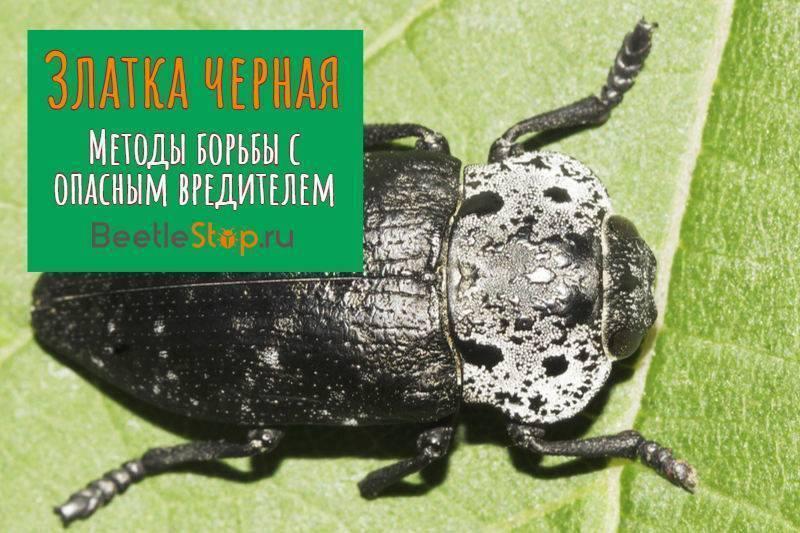 Златка черная – как спасти сад от личинок и жуков