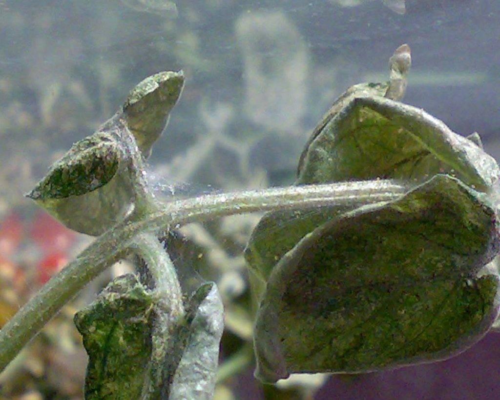 Паутинный клещ на баклажанах в теплице: меры борьбы, чтобы избавиться
