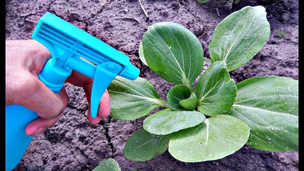 Чем обрабатывать капусту от тли — народные средства и химические препараты