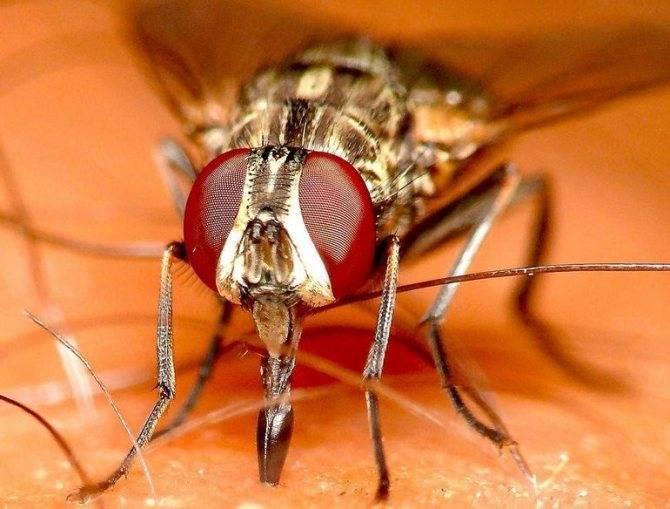 Осенняя жигалка – как истребить кусачую муху
