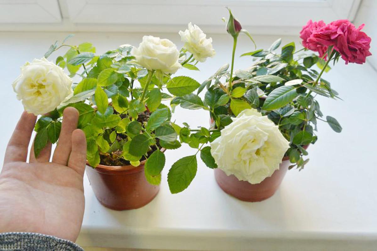 Как эффективно бороться с паутинным клещом на розе