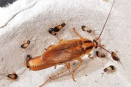 Виды тараканов, которые живут в квартире