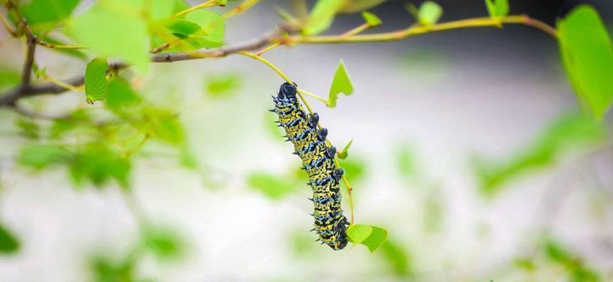 Когда внешность обманчива: боремся с нашествием капустницы