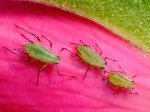Шестилапые красноармейцы. почему клопов-солдатиков называют жуками