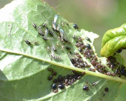 От чего появляется тля на растениях