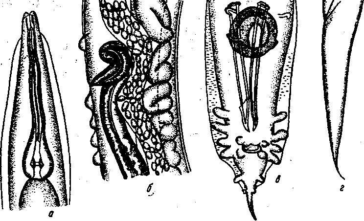 Перьевой клещ у кур — виды, симптомы и лечение