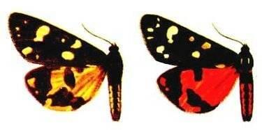Медведица госпожа бабочка интересные факты. бабочка медведица госпожа – летнее чудо у ручья. мрачная пещерная бабочка