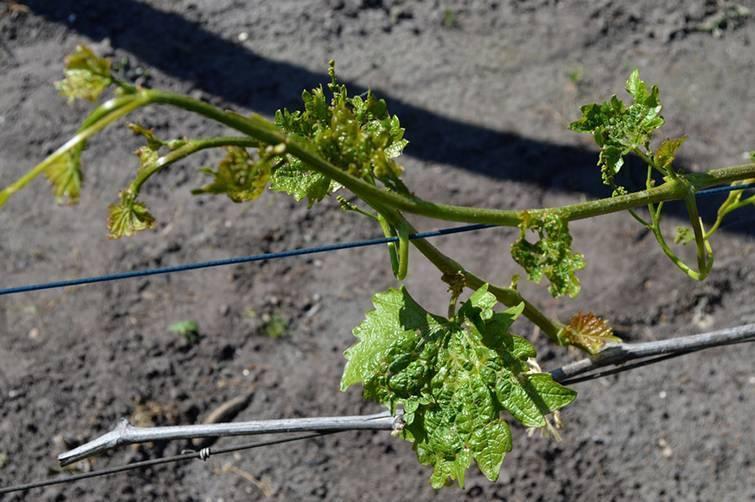 Чем обработать виноград от клеща осенью