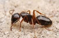 Кто такой муравей? сколько может поднять?
