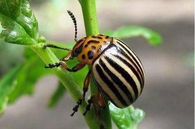 Как бороться с хрущем на клубнике. как избавиться от личинок майского жука народными средствами