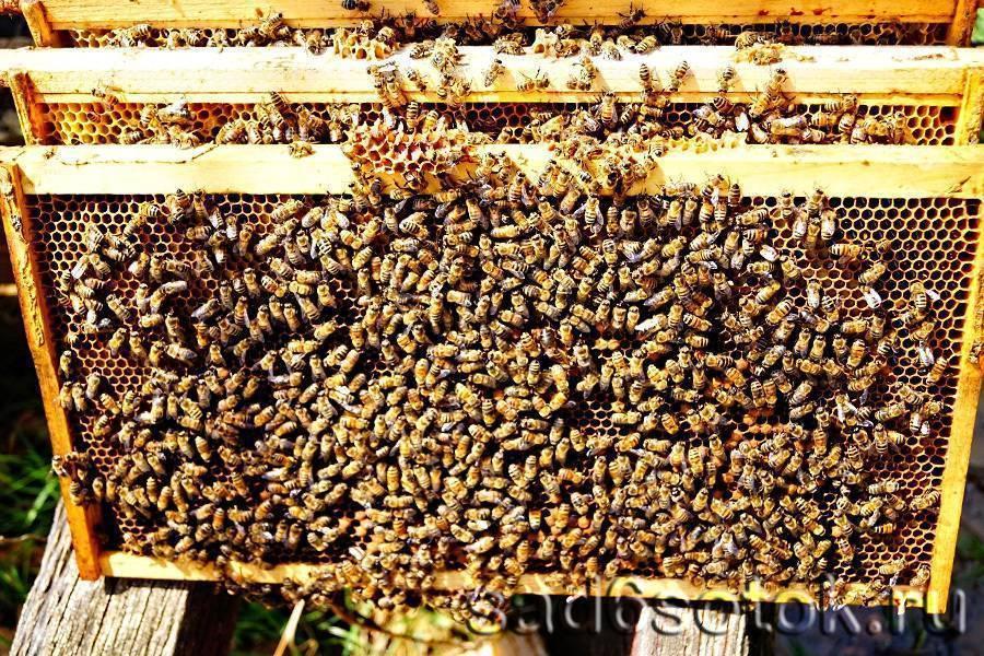 Иерархия в пчелиной семье