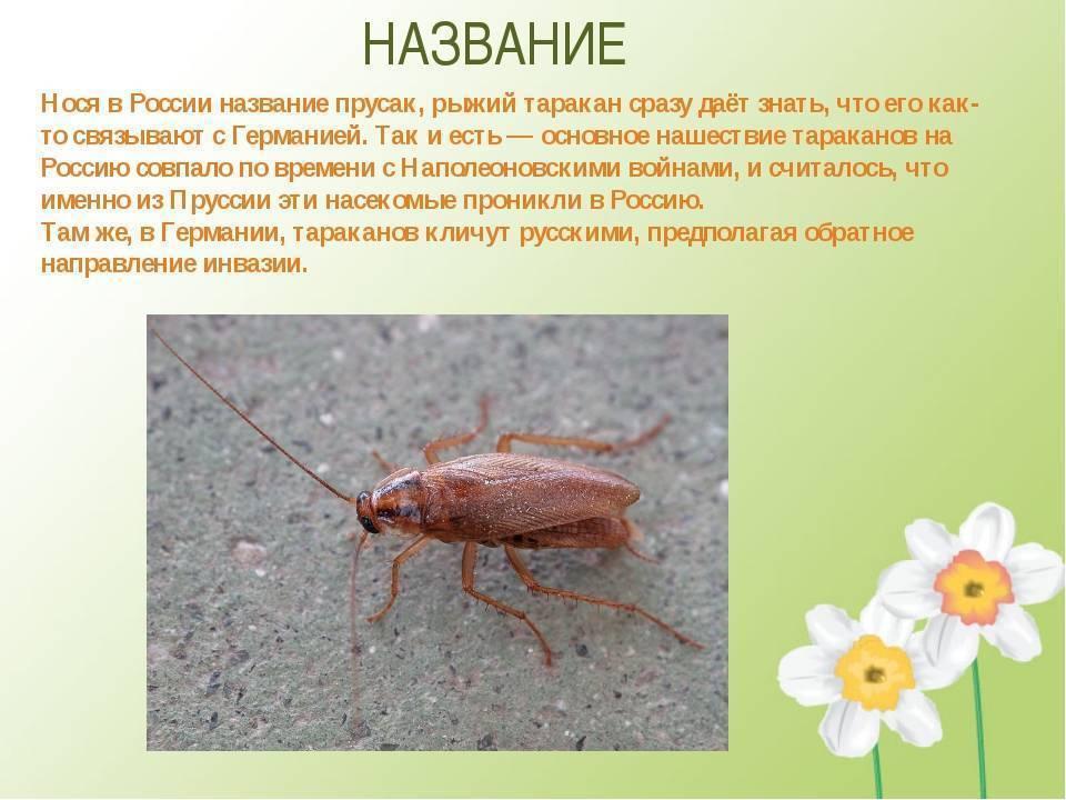 Виды тараканов: внешний вид и описание домашних вредителей