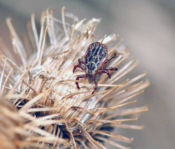 Лосиная муха в квартире как избавиться. чем опасен лосиный клещ и методы борьбы с клещами