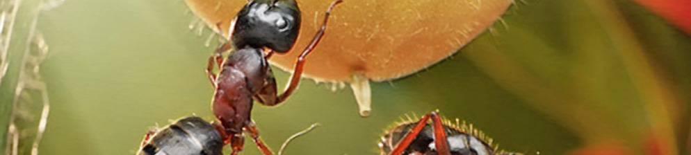 Самые эффективные методы избавления от муравьев в теплице