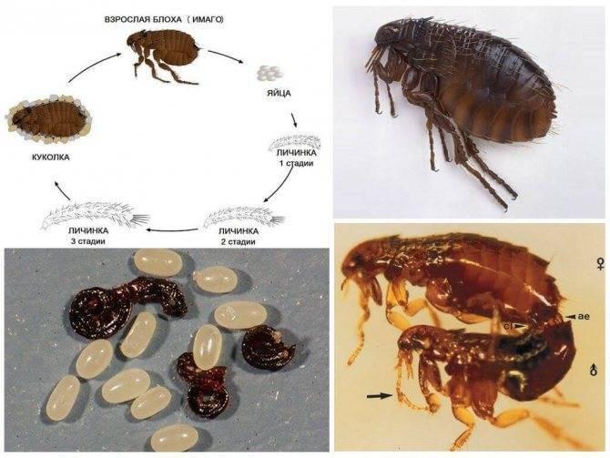 Жизненный цикл блохи, как выглядят яйца и личинки блох