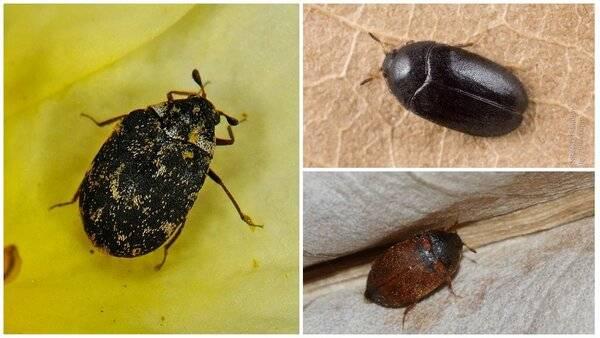 Как избавиться от черных жуков в квартире