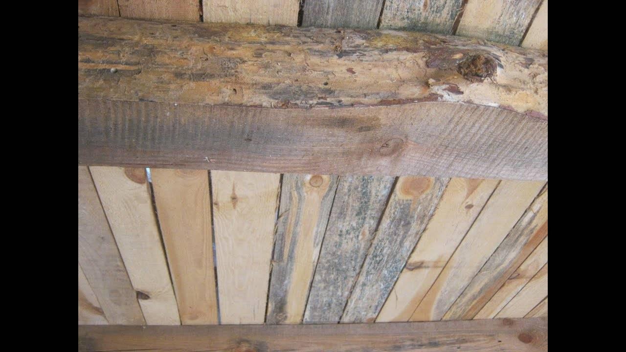 Жуки-короеды, шашель, термиты. как бороться свредителями древесины