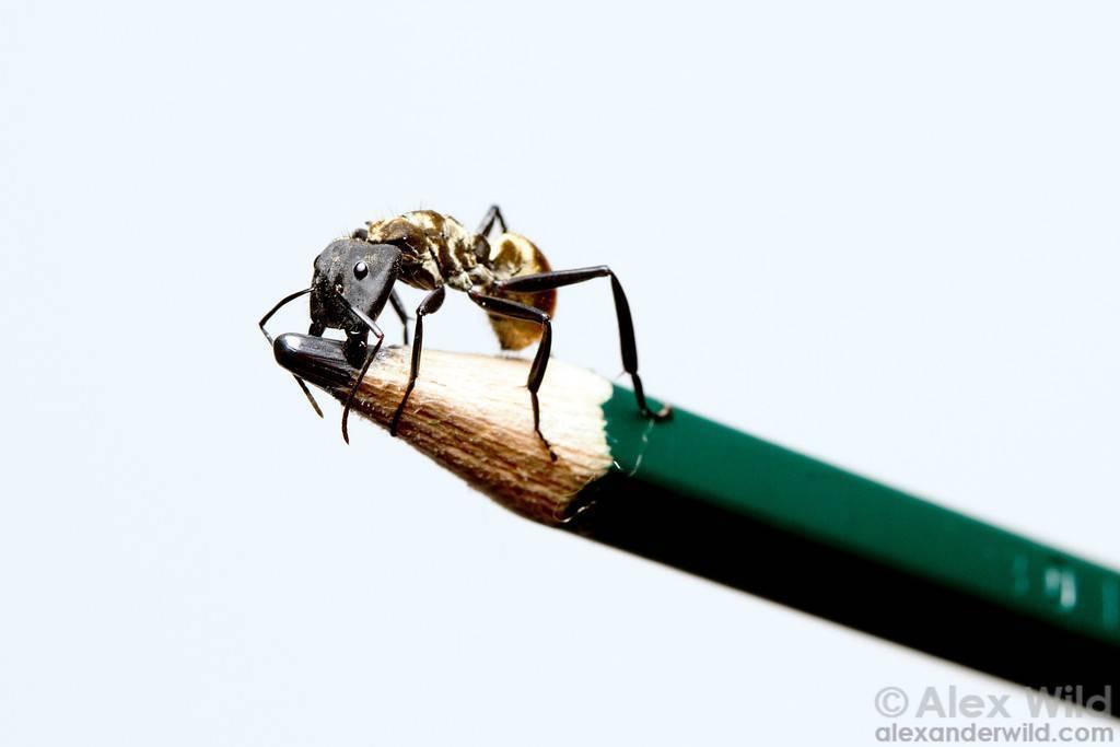 Мир дикой природы на wwlife.ru - показать содержимое по тегу: муравьи древоточцы