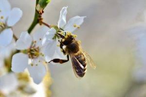 Лечение укусами пчел: показания к применению апитерапии