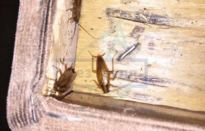 Что едят тараканы: какой рацион составить в домашних условиях?