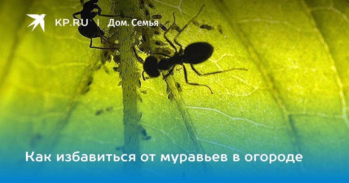 Как уничтожить муравейник на участке: средства от насекомых