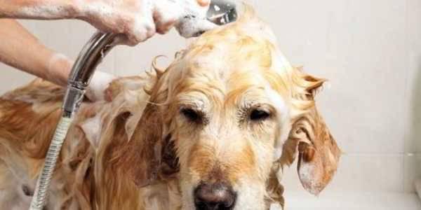 Кусачие вредители – как избавиться от блох у собаки, что можно сделать народными средствами?