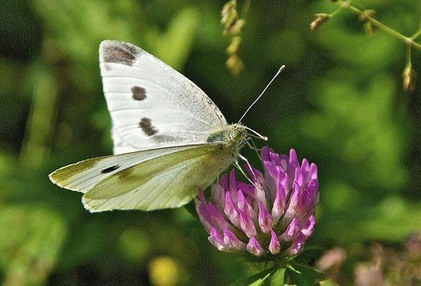 Защита капусты от бабочек — чем обработать овощ, чтобы спасти урожай?