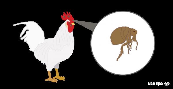 Как избавиться от пероедов у кур в домашних условиях? лечение с помощью ветеринарных препаратов и народными методами