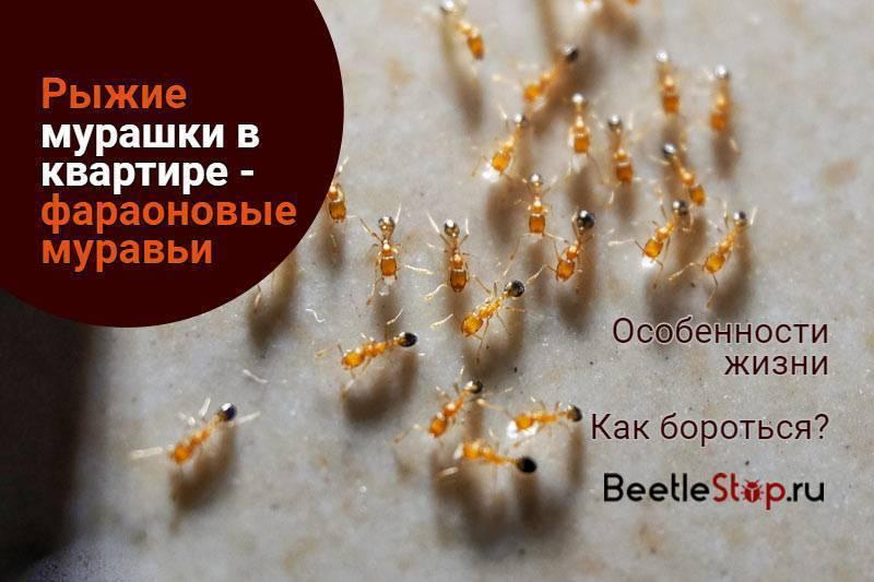 Мураши в квартире: что за насекомое и способы борьбы