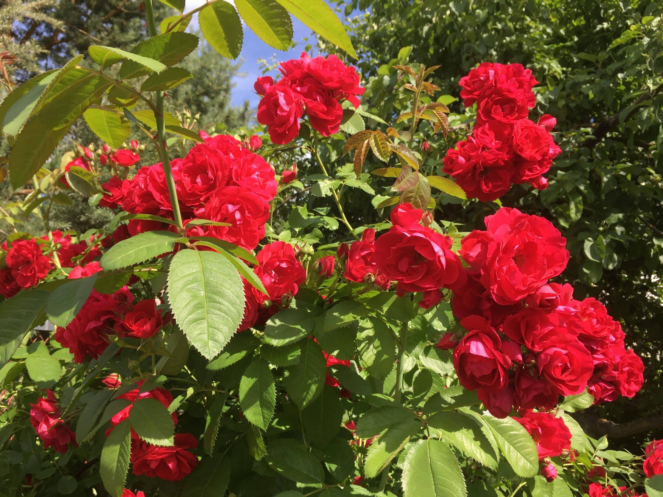 Тля на садовом участке: методы борьбы и профилактики