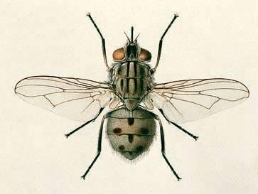 Почему мухи такие назойливые. почему мухи садятся на человека? что их привлекает? почему мухи надоедают с самого утра