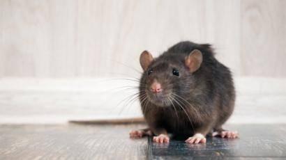 В каких случаях крысы нападают на человека