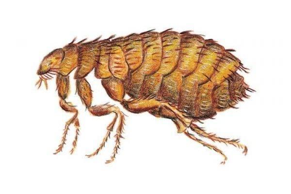 Блохи у курей: как избавиться от мелких насекомых в курятнике