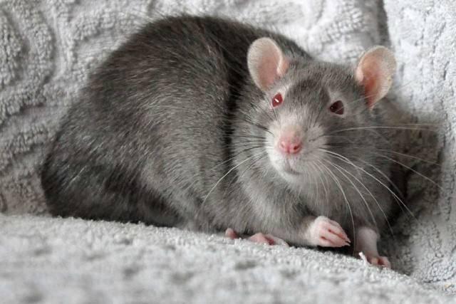 Может ли крыса напасть на человека – чем опасны укусы крысы